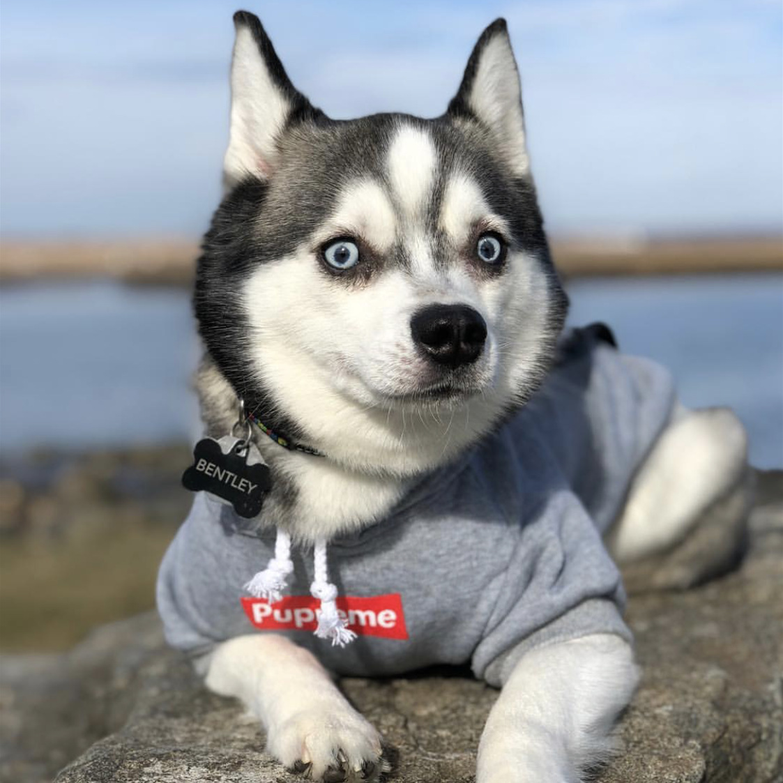 """Comfy Gray Pet Sweater with """"Pupreme"""" Print for Big Dogs Hansome Attire"""